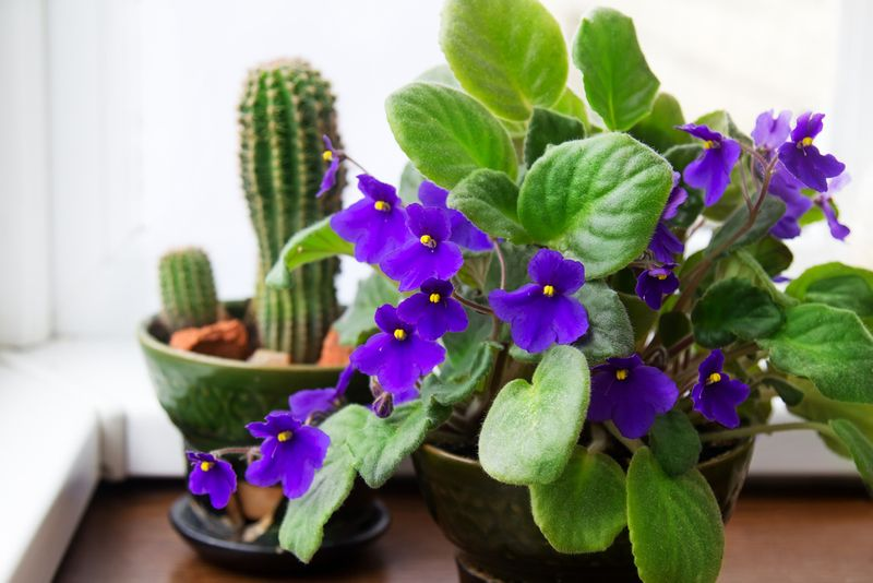 African Violets home