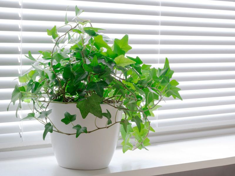 English Ivy at Home